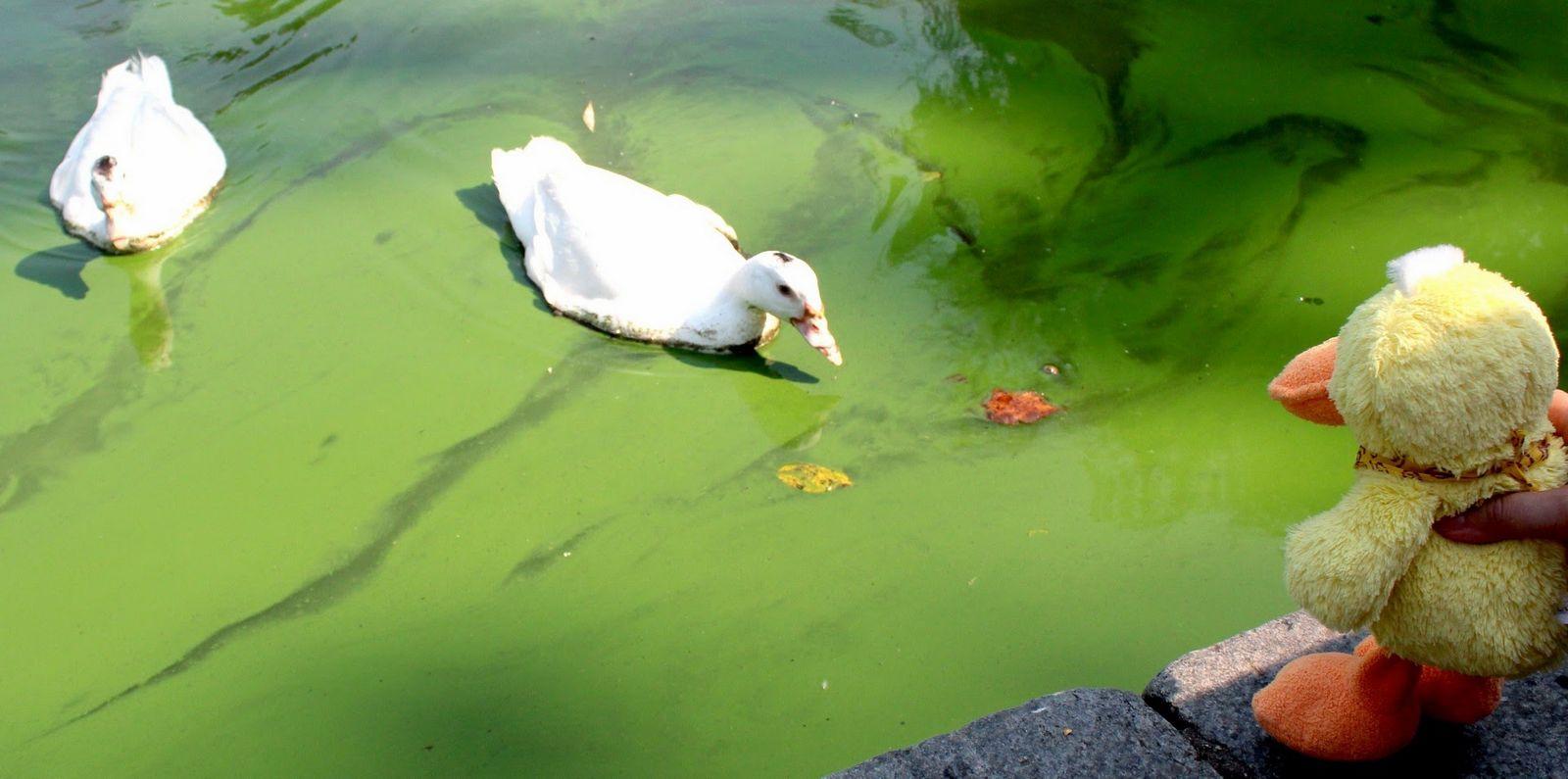 Pato buscando problemas