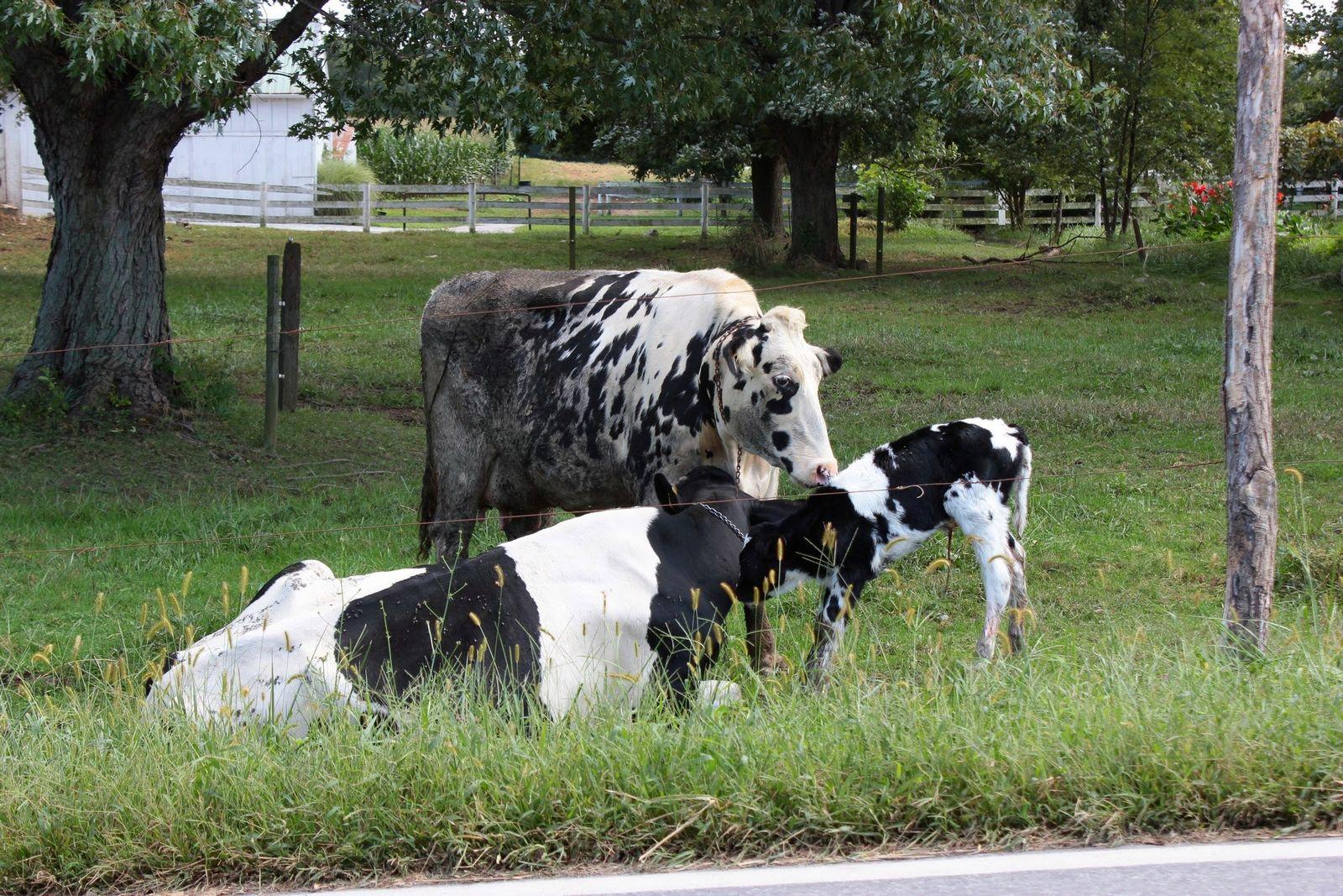 Vacas perezosas de Pennsylvania