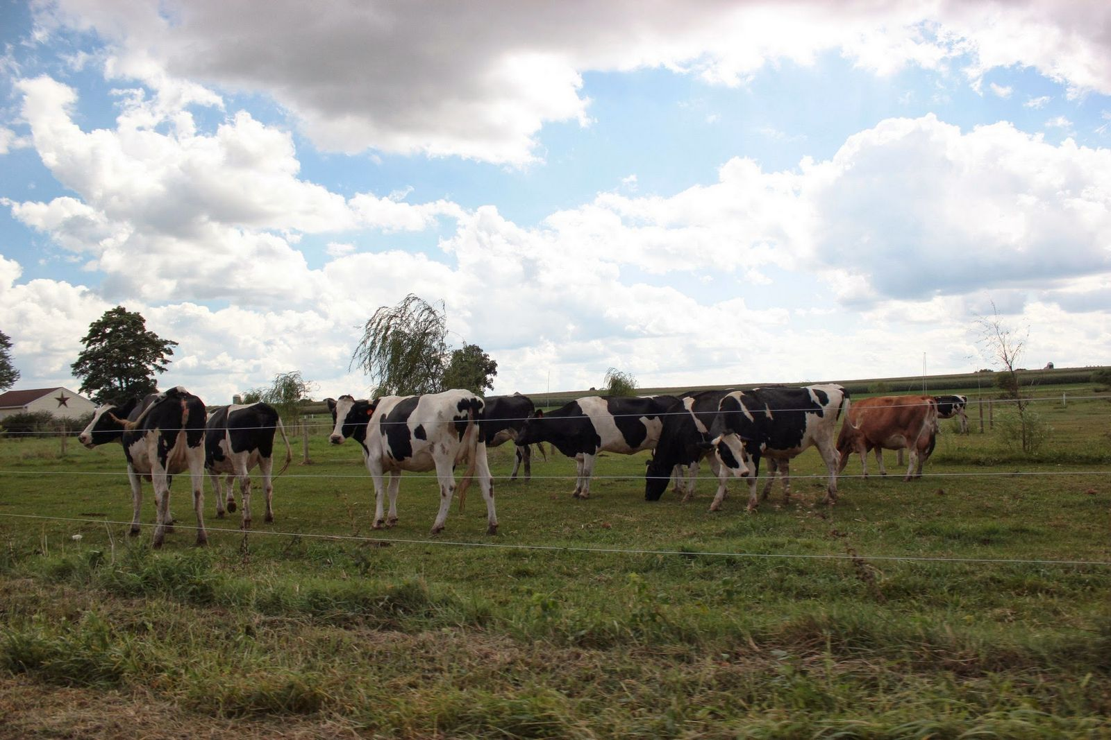 Vacas de Pennsylvania