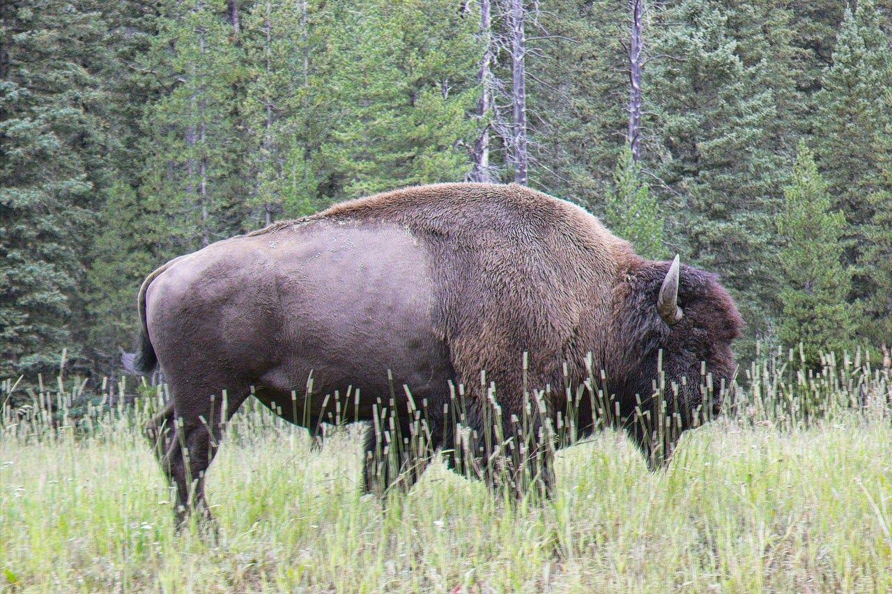 El último búfalo nos despide temporalmente de Yellowstone