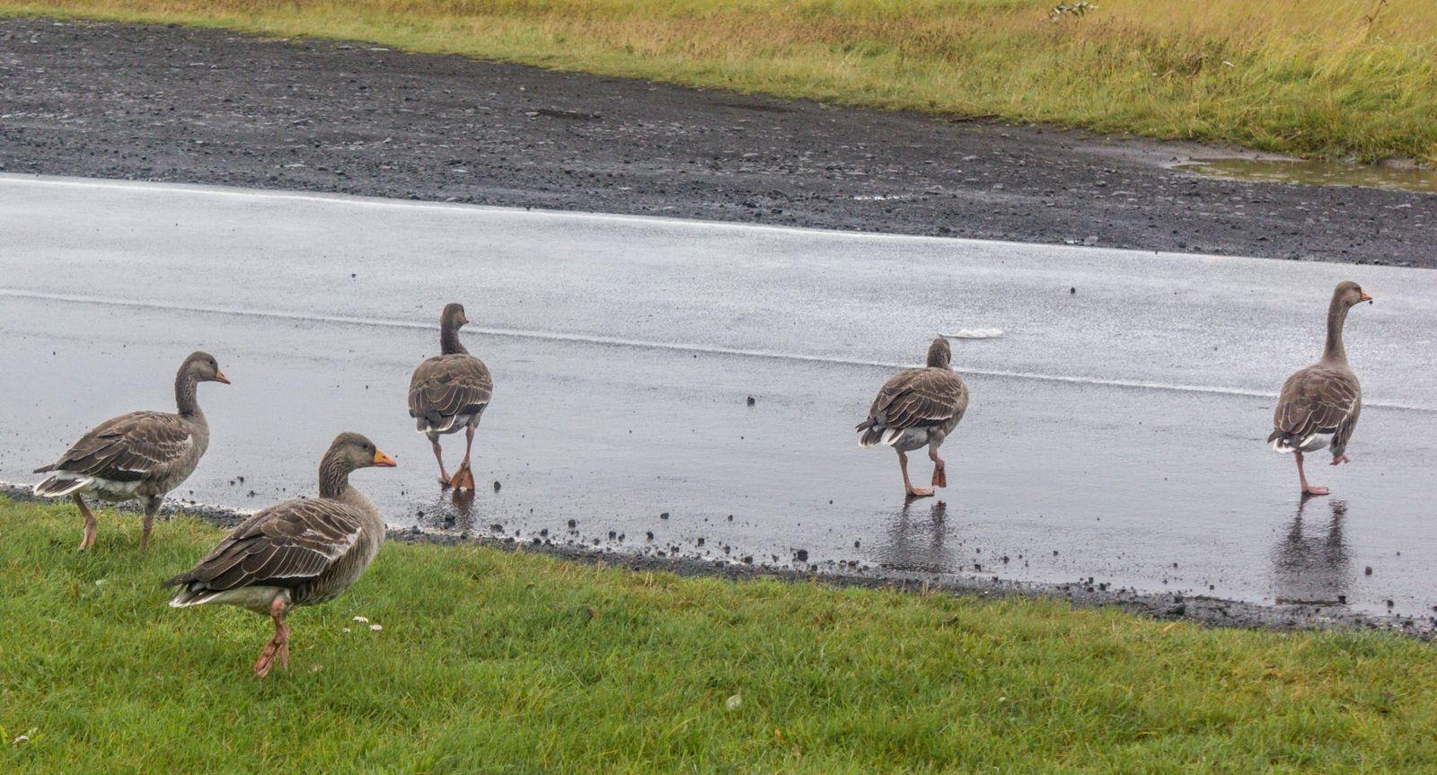 ¡A la carretera no, patos!