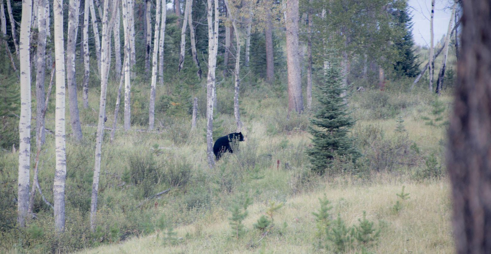 Un Black Bear escurridizo
