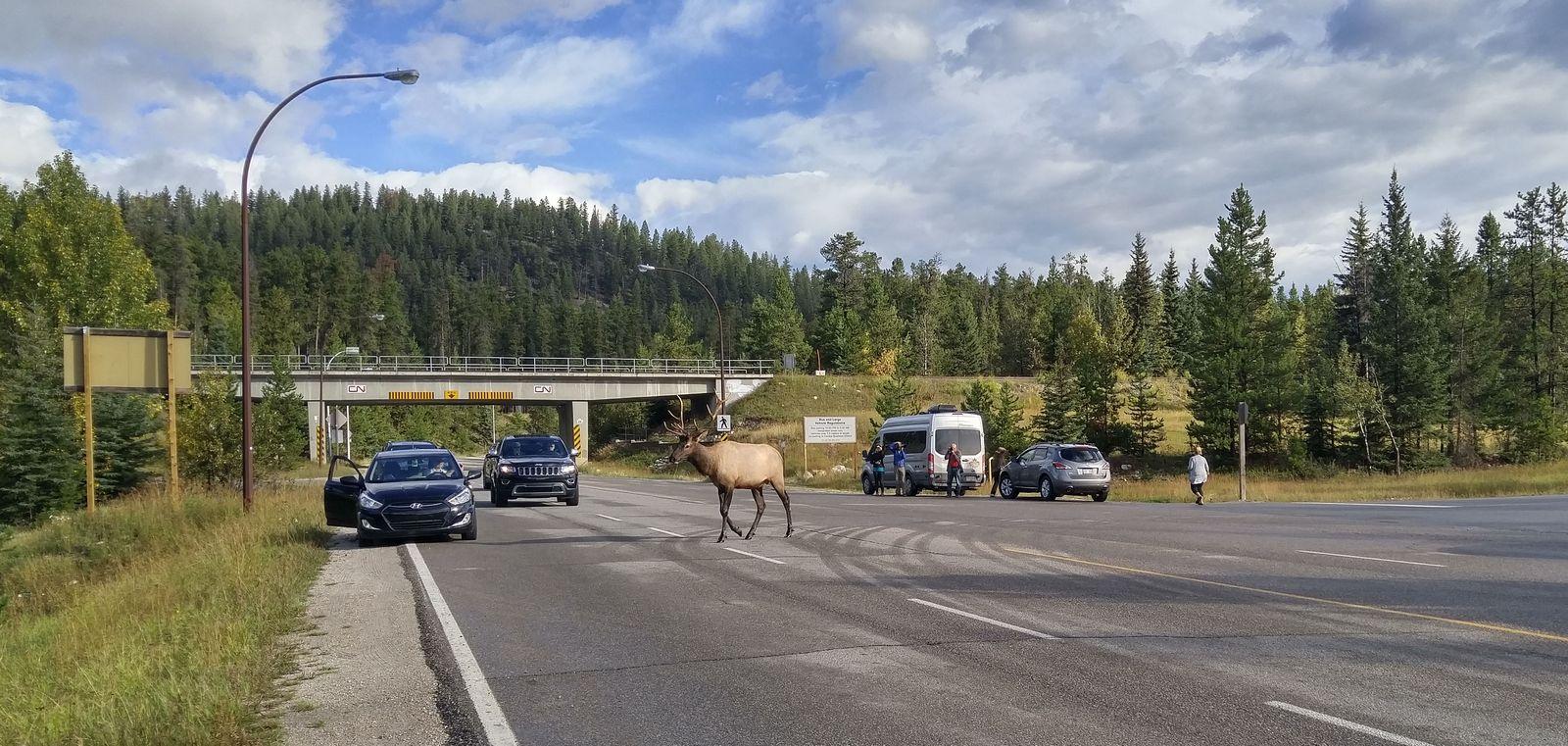 ¿Por qué el ciervo cruzó la carretera?