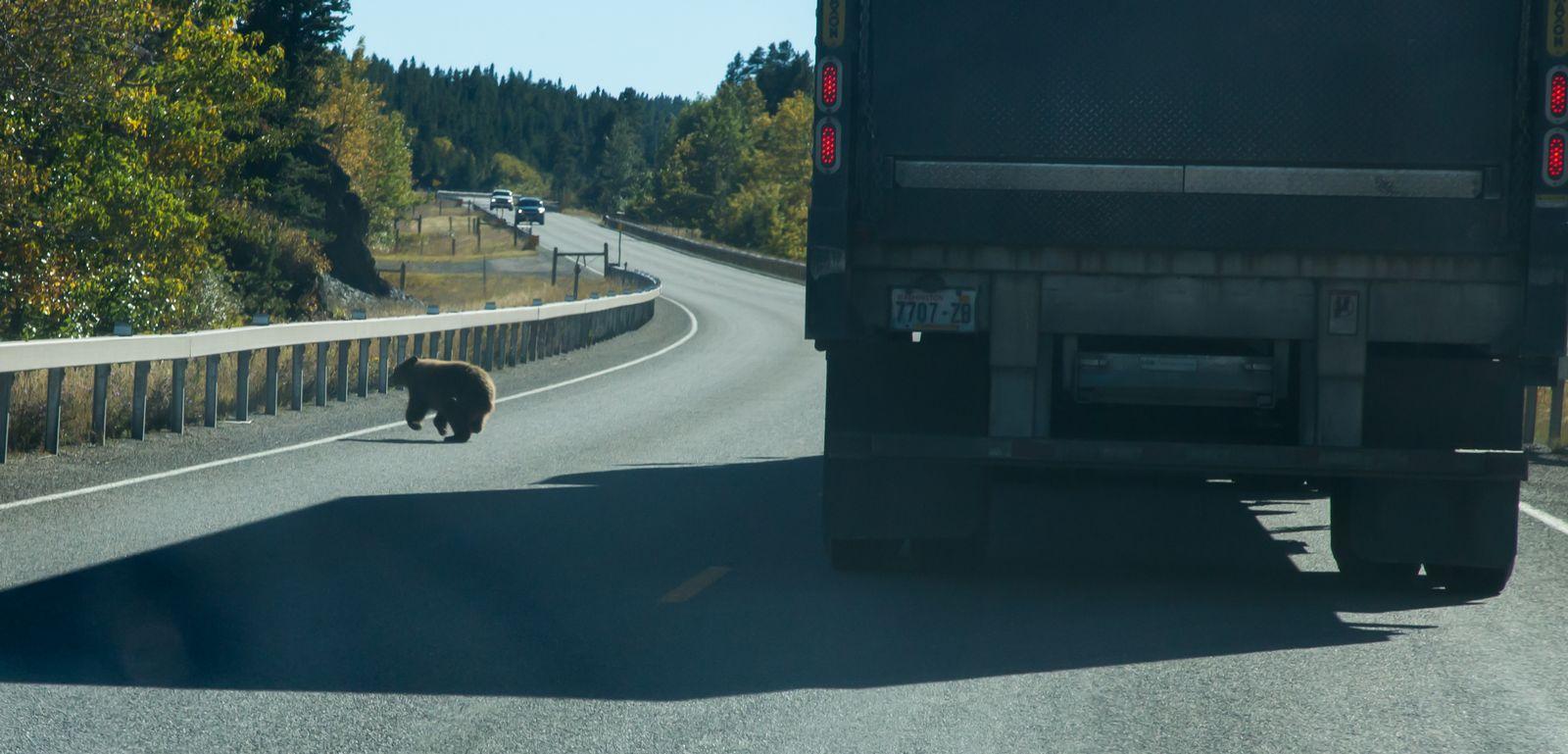 ¿Por qué el oso cruzó la carretera?