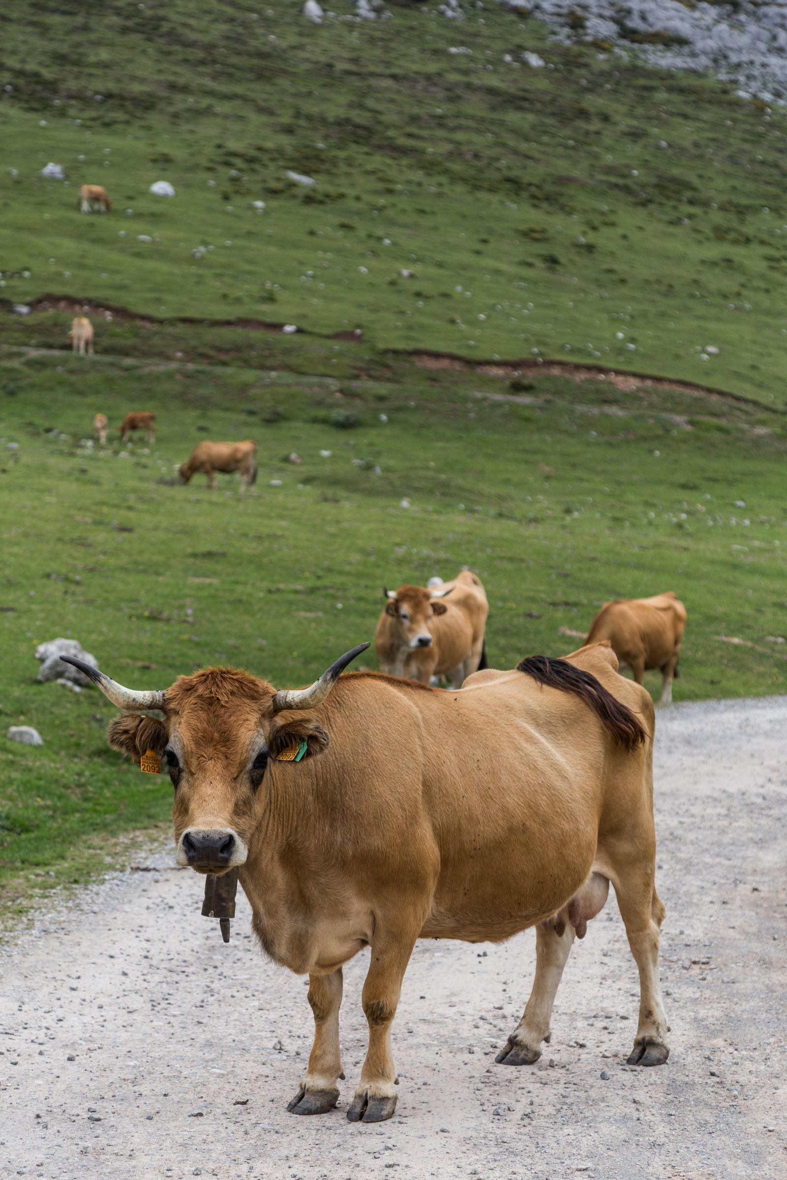 Con esta creo que van 91.523 vacas, ya