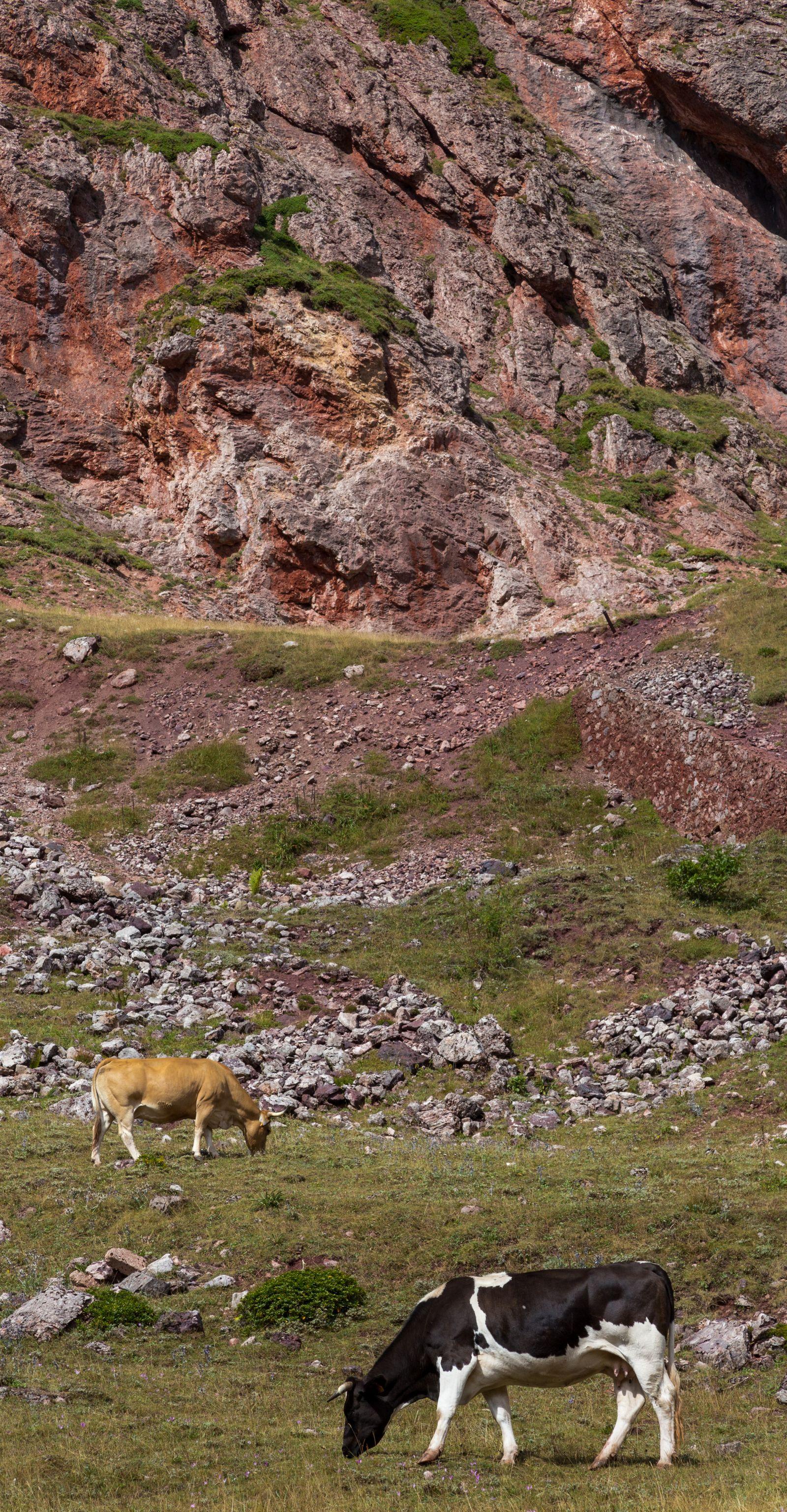 De las pocas vacas suizas que vemos