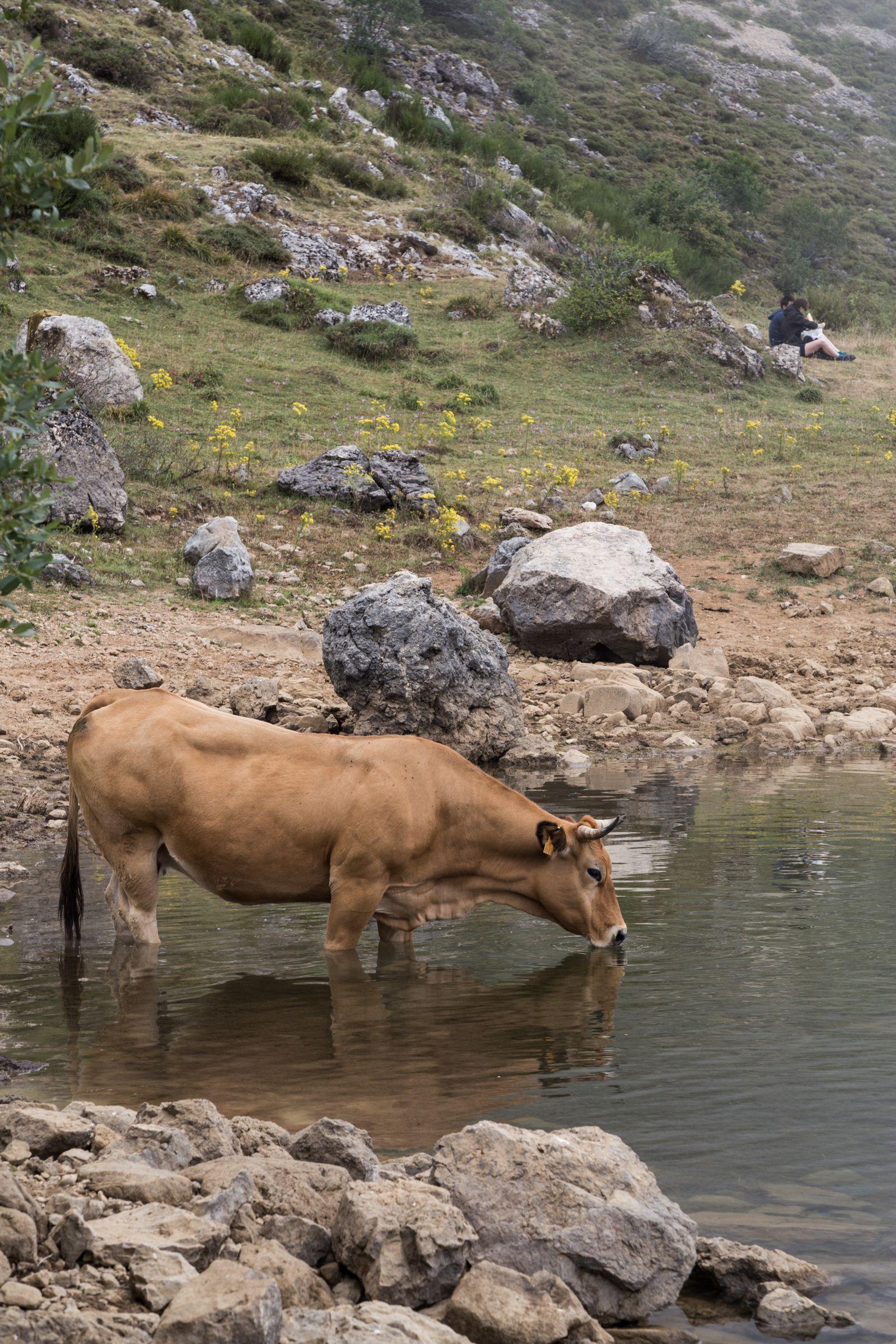 Vuelven las vacas