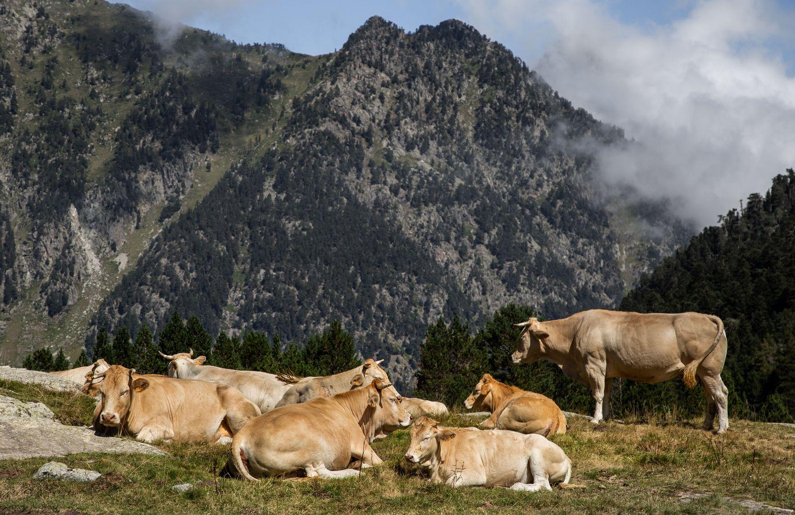 Las vacas, a lo suyo